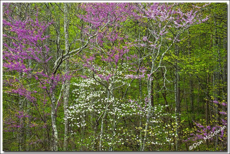 1 Dogwood and Redbud5